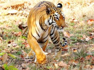 Tiger-INDIA-Maya